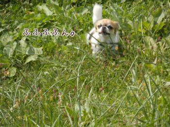 楽しそうに散歩してるハヤテ
