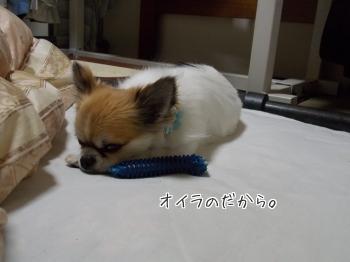 おもちゃと寝るハヤテ
