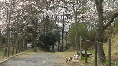 桜と一緒のさくハヤ