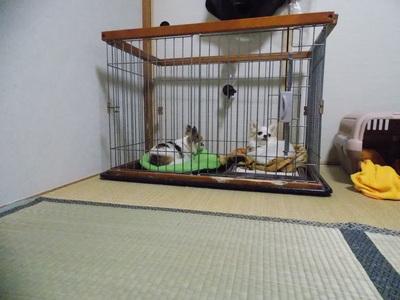一緒のハウスで寝るチワワーズ2