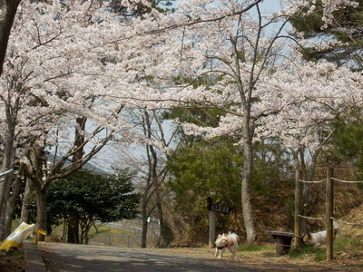 桜とチワワーズ4