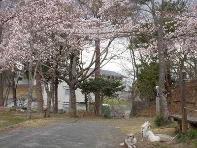 桜とチワワーズ5