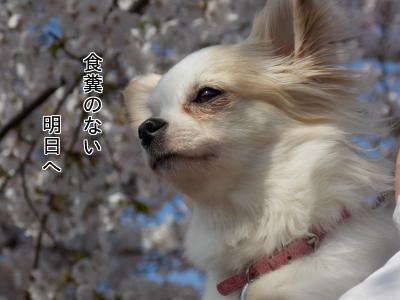 桜とさくら~選挙ポスター風~