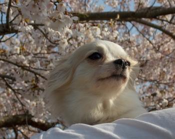 桜とさくら4