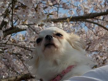 桜とさくら6