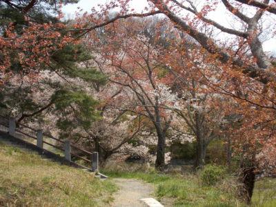 モリリンの桜
