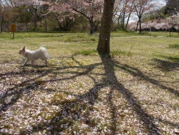 モリリンの桜2