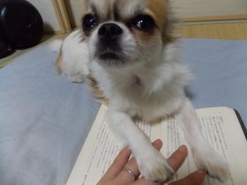 読みかの本の上でご飯をねだるハヤテ