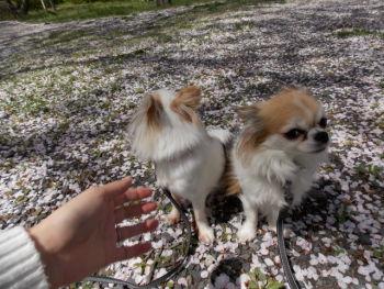 桜の花びらのじゅうたん