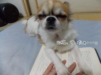 読みかの本の上でご飯をねだるハヤテ2