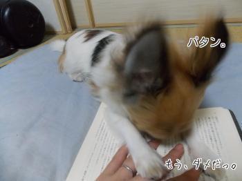 読みかの本の上でご飯をねだるハヤテ4