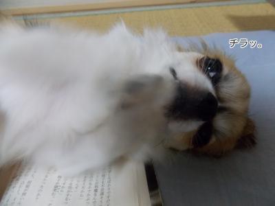 読みかの本の上でご飯をねだるハヤテ10