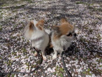 桜の花びらのじゅうたん5