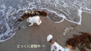 海のチワワーズ8