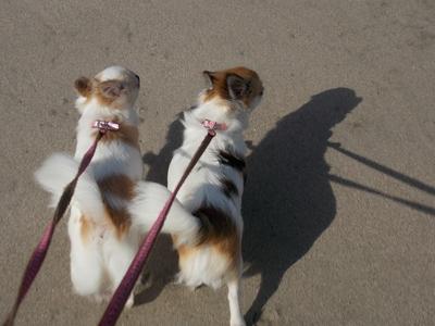 散歩してるチワワーズ2
