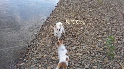 川で遊ぶチワワーズ2