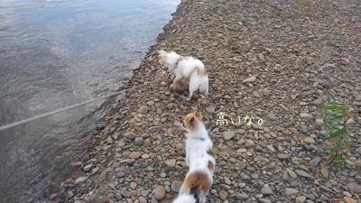 川で遊ぶチワワーズ