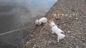 川で遊ぶチワワーズ3
