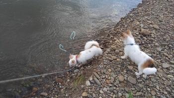 川で遊ぶチワワーズ4
