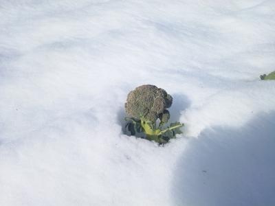 雪からブロッコリー