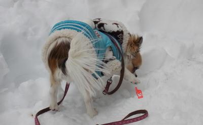 雪遊び中のチワワーズ4