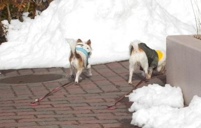 雪遊び中のチワワーズ10