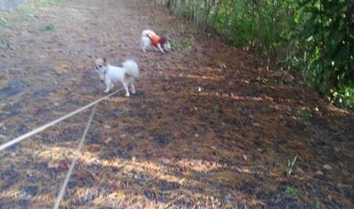 チワワーズと秋散歩3