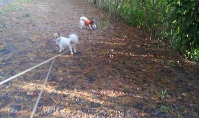 チワワーズと秋散歩4