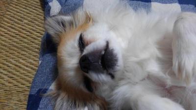 口を開けて眠るハヤテ