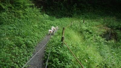 チワワーズと山散歩2