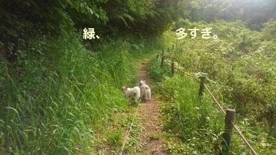 チワワーズと山散歩