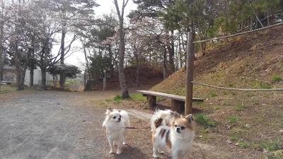桜とチワワーズ3