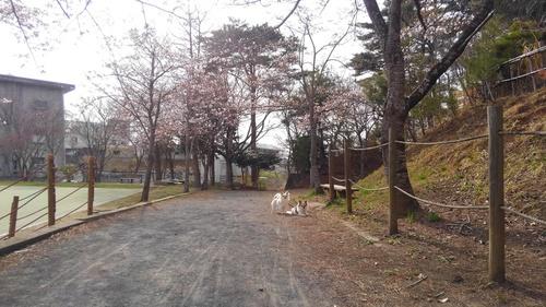 桜とチワワーズ