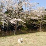 桜とチワワのハヤテ