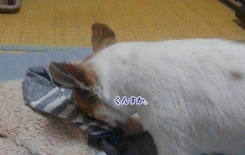 靴下を堪能するハヤテ