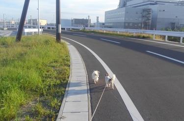 散歩するチワワーズ2