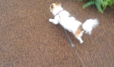 ハヤテの雨の日散歩3