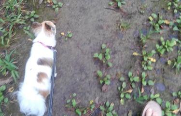 ハヤテの雨の日散歩5