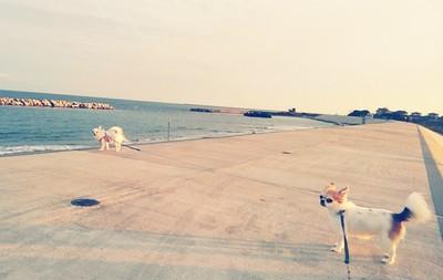 海で散歩のチワワーズ