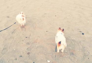 海で遊ぶチワワーズ