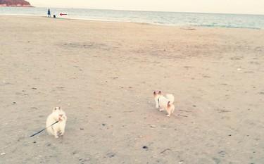 海で散歩のチワワーズ2