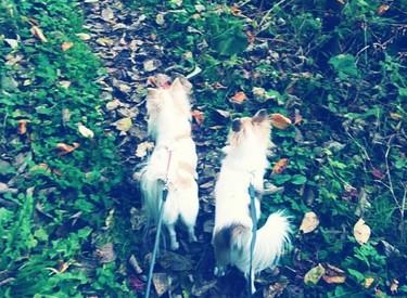散歩中のチワワーズ2