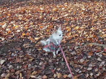 落ち葉の中のさくら