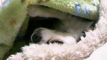 お願いしながら眠るハヤテ