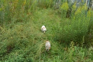草に埋もれるチワワーズ