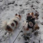 雪道散歩中のチワワーズ2