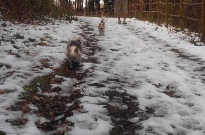 雪道散歩中のチワワーズ