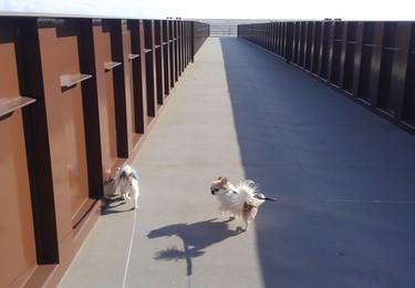 橋を渡るチワワーズ