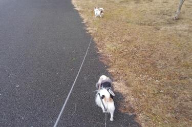 散歩中のチワワーズ