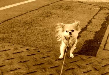 散歩するハヤテ3